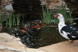 duck in front of koi fish pond